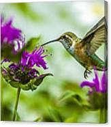 Calliope Hummingbird At Bee Balm Canvas Print