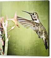 Calliope Hummingbird  Canvas Print