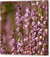 Calluna Vulgaris 2 Canvas Print
