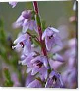 Calluna Vulgaris 4  Canvas Print