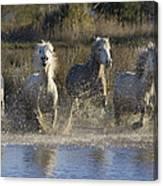 Camargue Horse Equus Caballus Group Canvas Print