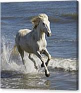 Camargue Horse Equus Caballus Running Canvas Print