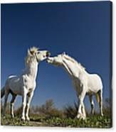 Camargue Horse Equus Caballus Stallions Canvas Print