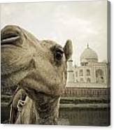 Camel In Front Of The Yamuna River And Canvas Print