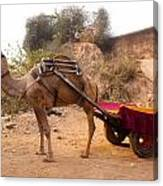 Camel Yoked To A Decorated Cart Meant For Carrying Passengers In India Canvas Print
