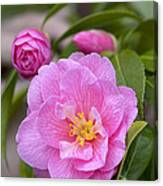 Camellia Camellia X Williamsii Donation Canvas Print