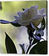 Camellia One Canvas Print