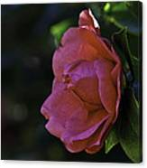 Camellia Twenty-five  Canvas Print
