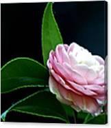 Camellia Twenty-four  Canvas Print