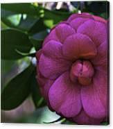 Camellia Twenty Canvas Print