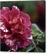 Camellia Twenty-one  Canvas Print