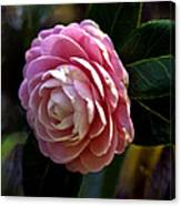 Camellia Twenty-three Canvas Print