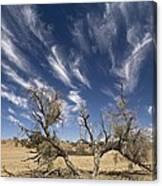 Camelthorn Tree (acacia Erioloba) Canvas Print