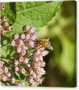 Camphorweed Wildflowers And Honey Bee Canvas Print