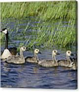 Canada Geese Branta Canadensis Canvas Print