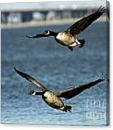 Canada Geese Coming In For A Landing Canvas Print