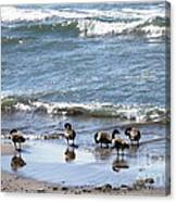 Canada Geese In Lake Erie Canvas Print