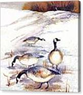 Canada Geese In Stubble Field Canvas Print