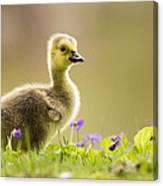 Canada Goose Baby Canvas Print