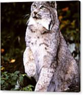 Canada Lynx With Paw Up   Canvas Print