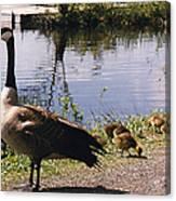 Canadian Geese At Trojan Lake Ny Canvas Print