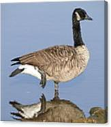 Canadian Goose Canvas Print