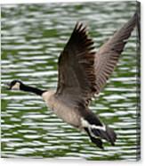 Canadian Goose Canvas Print