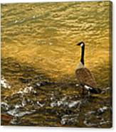 Canadian Goose In Golden Sunlight Canvas Print