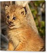 Canadian Lynx Kitten, Alaska Canvas Print