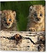Canadian Lynx Kittens Looking Canvas Print