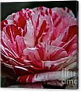 Candy Cane Rose Canvas Print