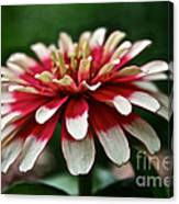 Candy Color Zinnia Canvas Print