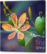 Candy Lily Canvas Print