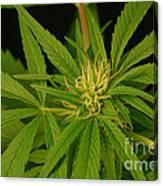 Cannabis Bud Canvas Print
