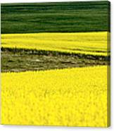 Canola Crop Canvas Print