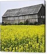 Canola Field And Old Barn Canvas Print