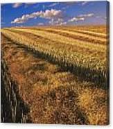 Canola Field, Tiger Hills, Manitoba Canvas Print