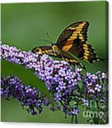 Captivating Swallowtail On Butterfly Bush Flower Canvas Print