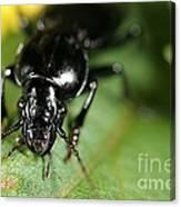 Carabid Beetle Rootworm Rredator Canvas Print