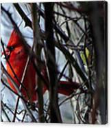 Cardinal And Thorns Canvas Print