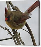 Cardinal Cold Winter Stare Canvas Print