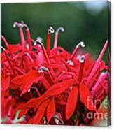 Cardinal Flower Close Up Canvas Print