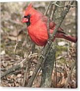 Cardinal In A Bush Canvas Print
