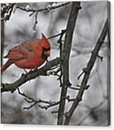 Cardinal Male 3666 Canvas Print