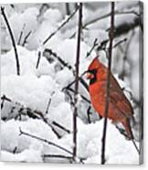 Cardinal Male 3669 Canvas Print