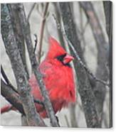 Cardinal With Fluffed Feathers Canvas Print