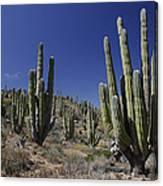 Cardon Pachycereus Pringlei Cacti Canvas Print