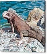 Caribbean Iguana Canvas Print
