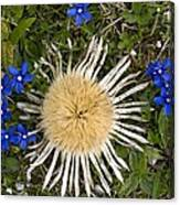 Carlina Acaulis And Gentiana Verna Canvas Print
