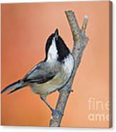 Carolina Chickadee - D007814 Canvas Print